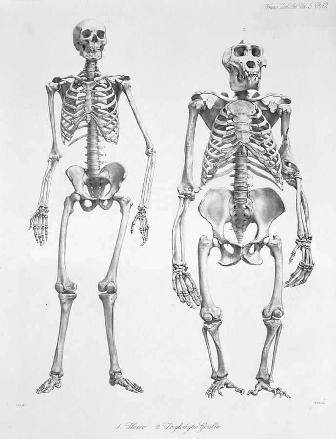 Comparative Photograph - Human And Gorilla Skeletons by Natural History Museum, London/science Photo Library