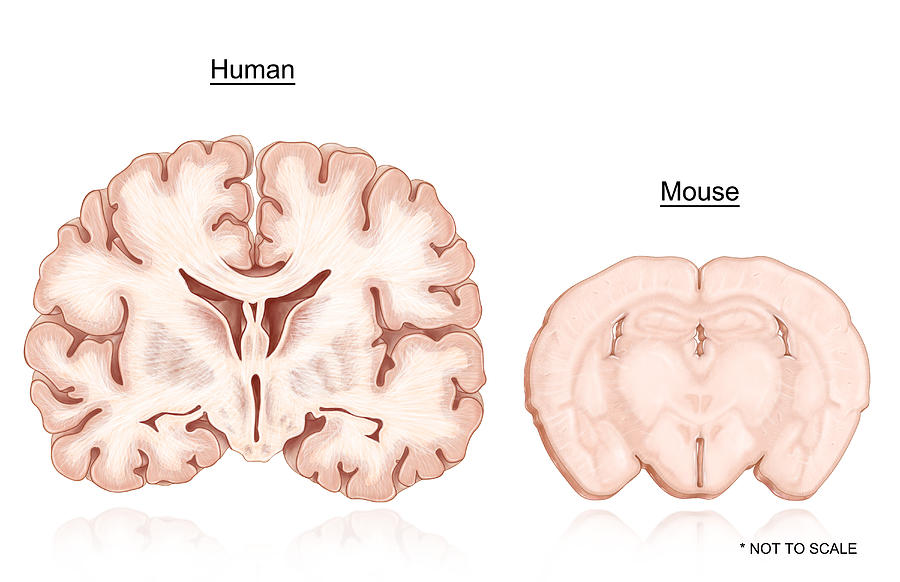 Human and mouse brain comparison photograph by evan oto illustration photograph human and mouse brain comparison by evan oto ccuart Image collections
