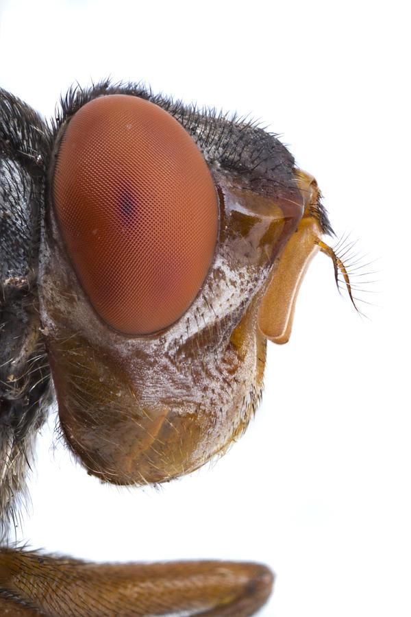Human Botfly Belize Photograph by Piotr Naskrecki