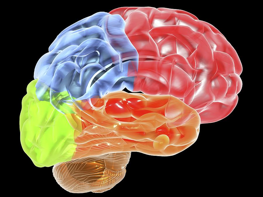 Human Brain Anatomy, Artwork Digital Art by Pasieka