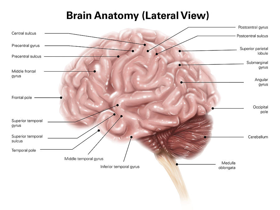 Human Brain Anatomy Lateral View Photograph By Alan Gesek