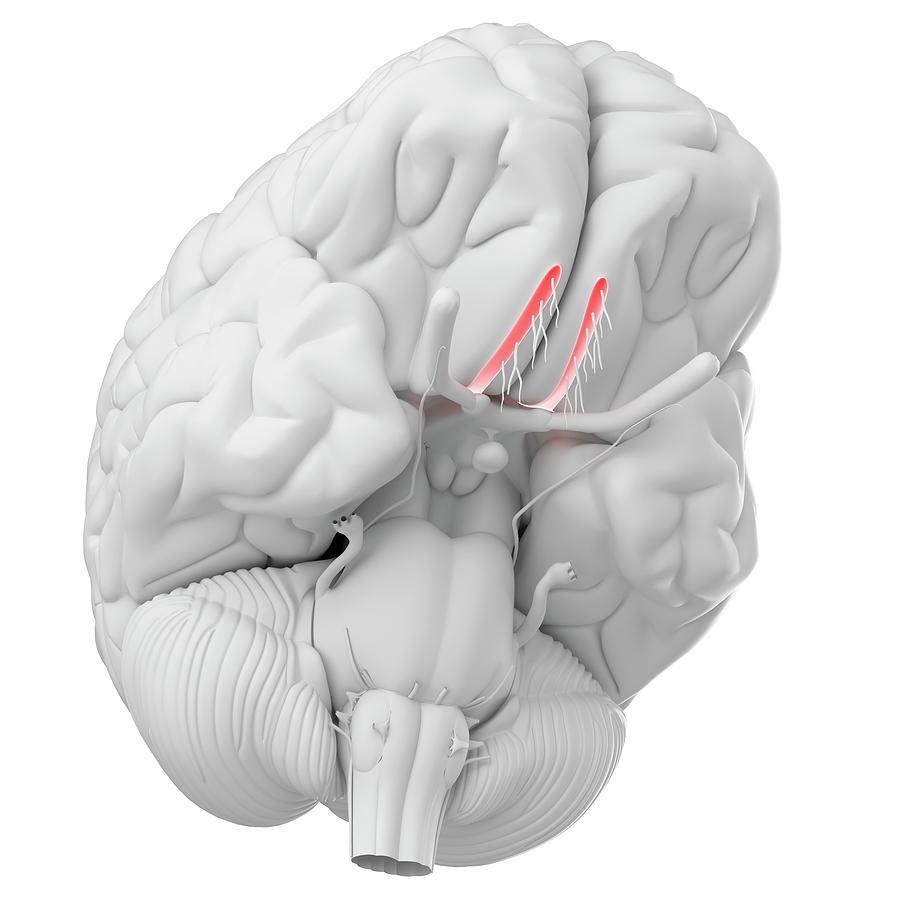 Human Brain Olfactory Nerve Photograph By Sebastian