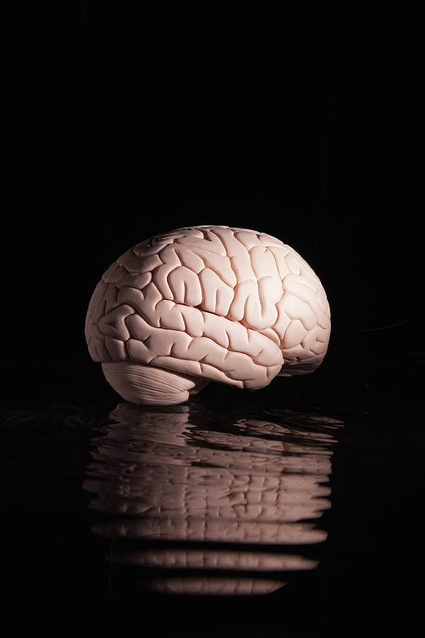 Human Brain With Reflection Photograph by Pm Images