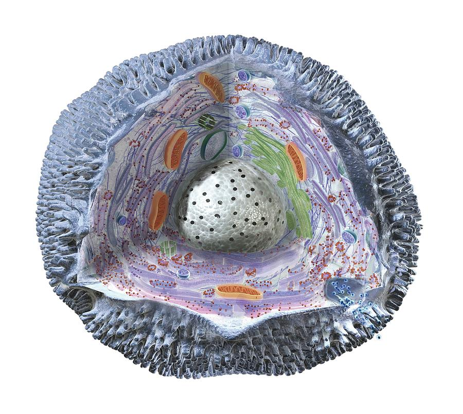 Anatomy Photograph - Human Cell Structure Showing Cytoplasm by Dorling Kindersley/uig
