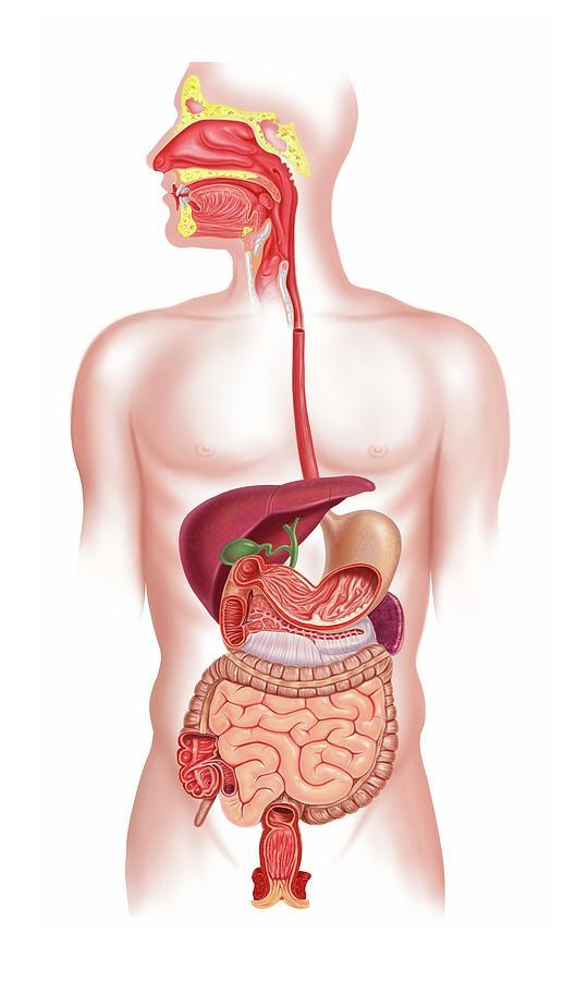 Human Digestive System, Artwork Digital Art by Science Photo Library - Leonello Calvetti
