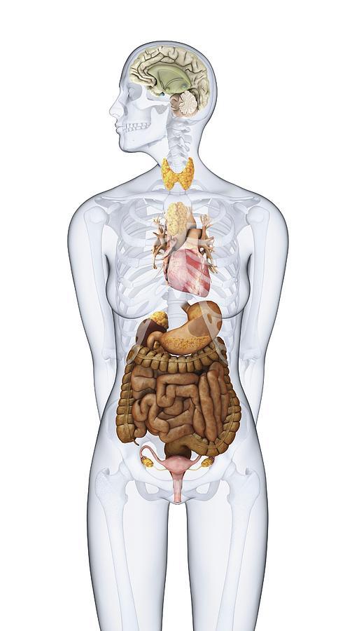 Human Endocrine System Photograph by Dorling Kindersley/uig