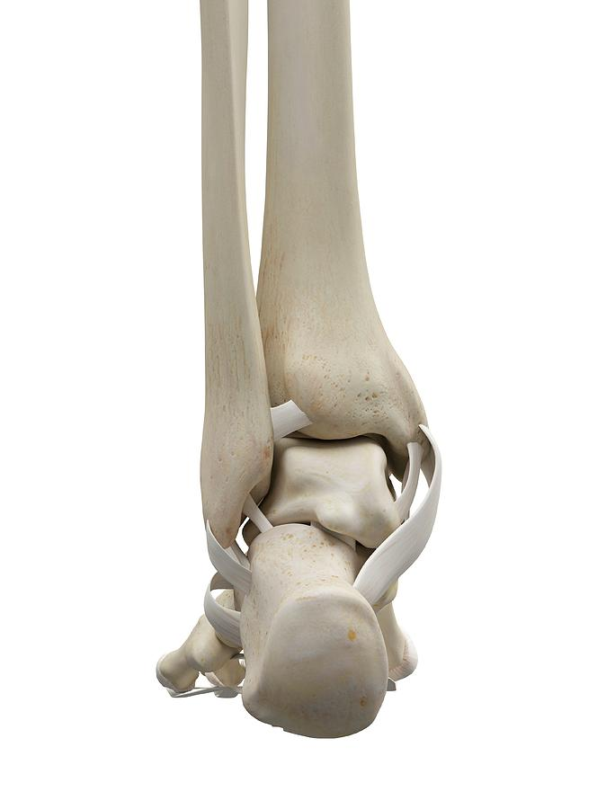 Human Foot Tendons Photograph By Sciepro