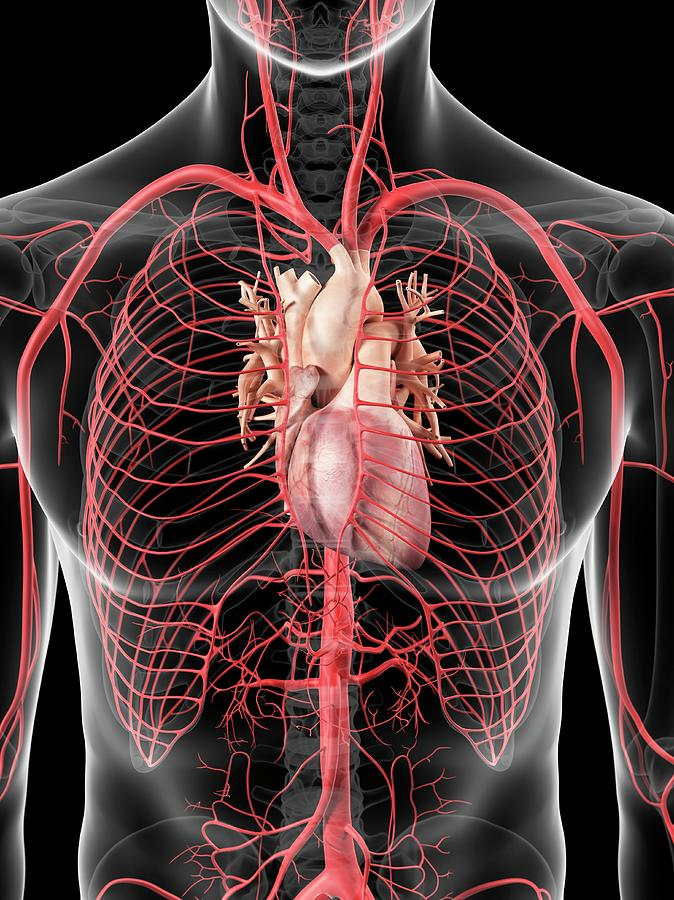 Artwork Photograph - Human Heart And Arteries by Sciepro