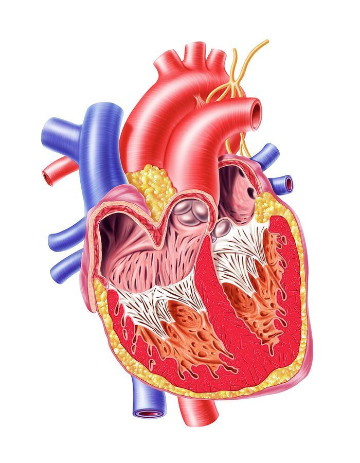 Human Heart, Artwork Digital Art by Leonello Calvetti