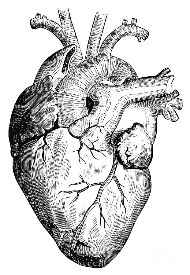 Human Heart Drawing by Granger