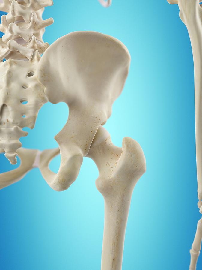 Human Hip Bones Photograph By Sciepro