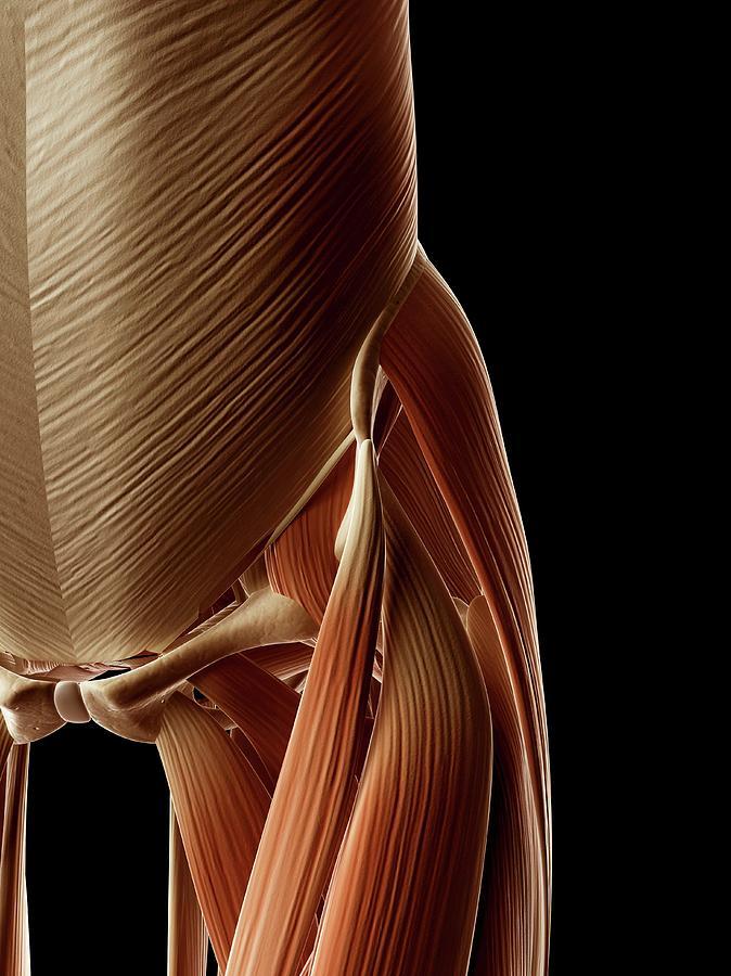 Artwork Photograph - Human Hip Muscles by Sebastian Kaulitzki