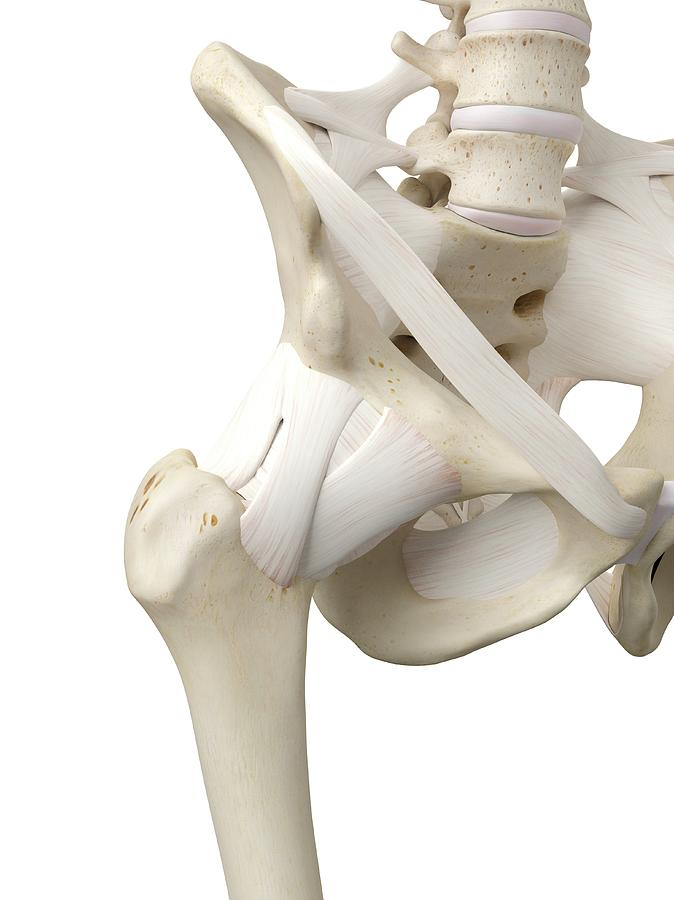 Human Hip Tendons Photograph by Sciepro