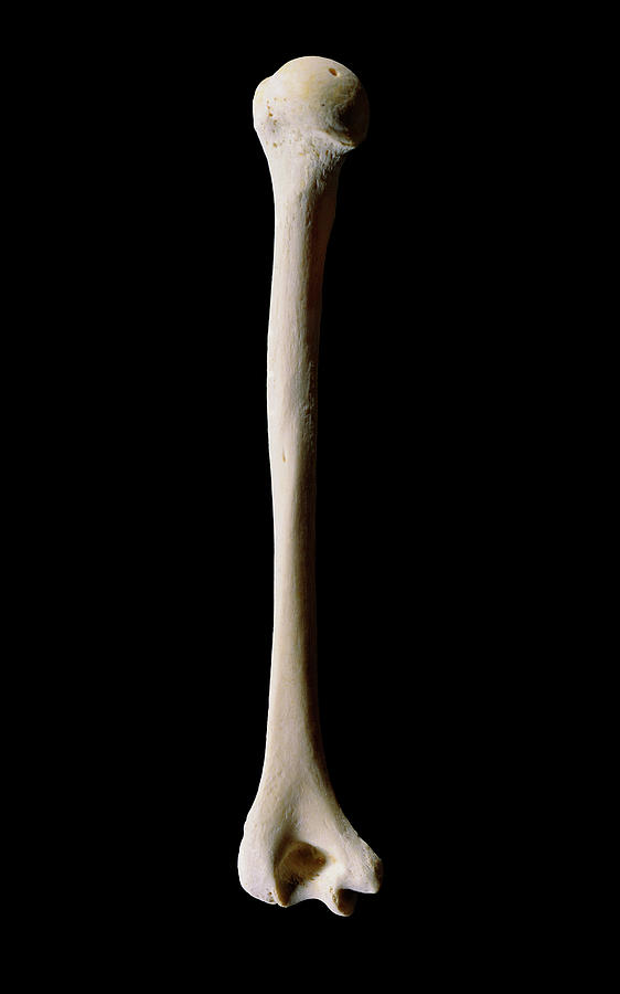 Human Humerus (upper Arm Bone) Photograph by James Stevenson/science ...
