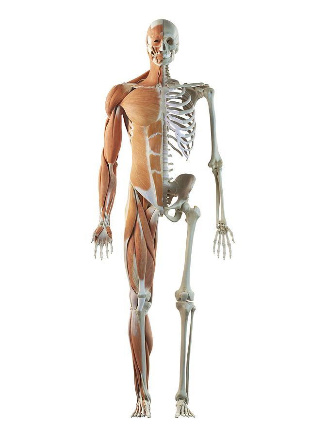 human musculoskeletal system, artwork drawing by sciepro