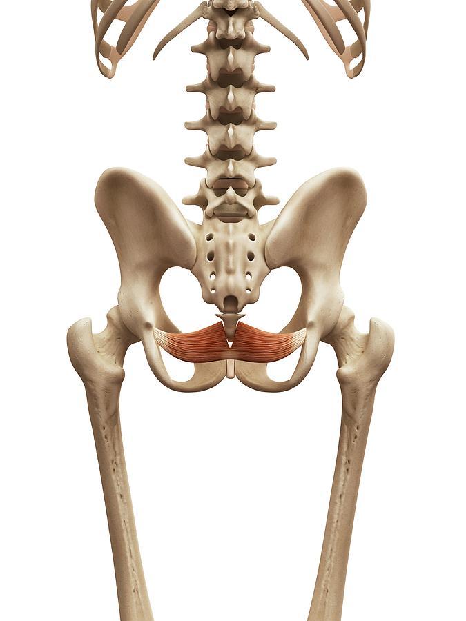 Artwork Photograph - Human Pelvic Muscle by Sebastian Kaulitzki
