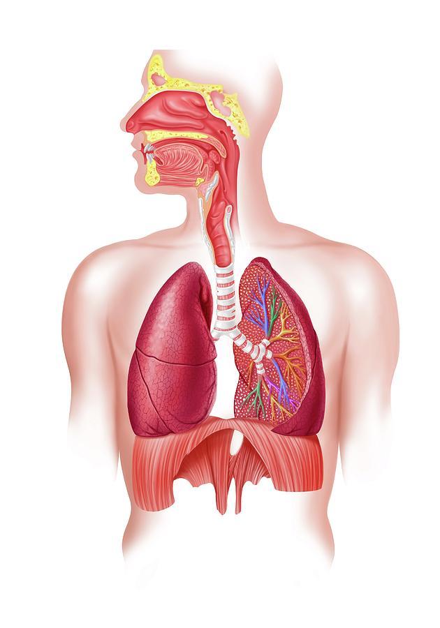 Human Respiratory System, Artwork Digital Art by Science Photo Library - Leonello Calvetti