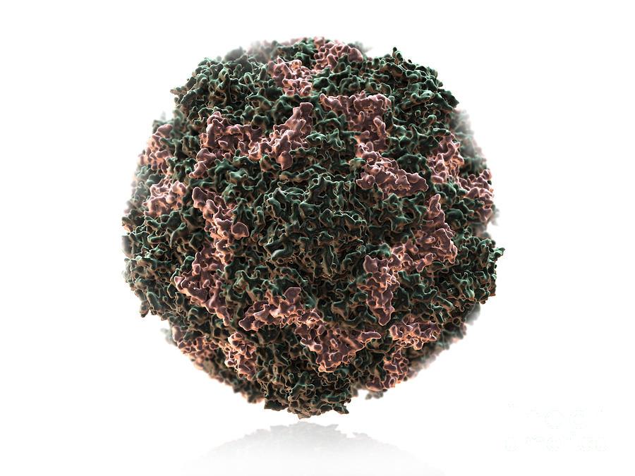 Virus Photograph - Human Rhinovirus by Evan Oto