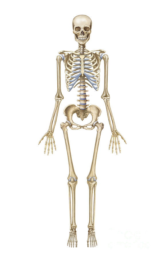 Human Skeletal System  Front View Digital Art By Trifocal Communications