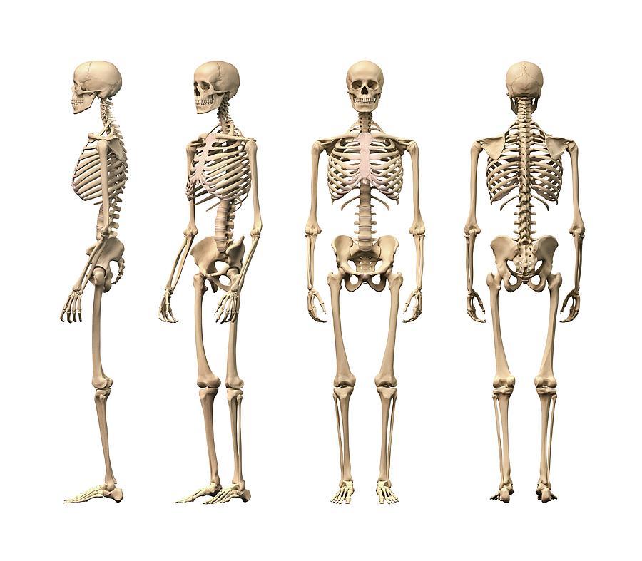 Human Skeleton, Artwork Digital Art by Leonello Calvetti
