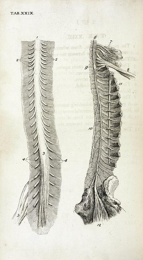 Human Spine And Nerves Photograph By British Library