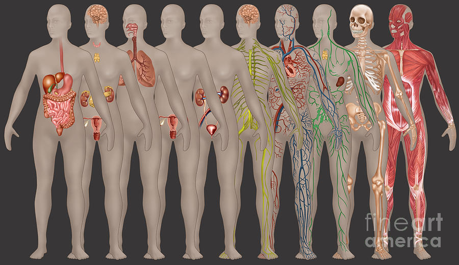 Science Photograph - Human Systems In The Female Anatomy by Gwen Shockey