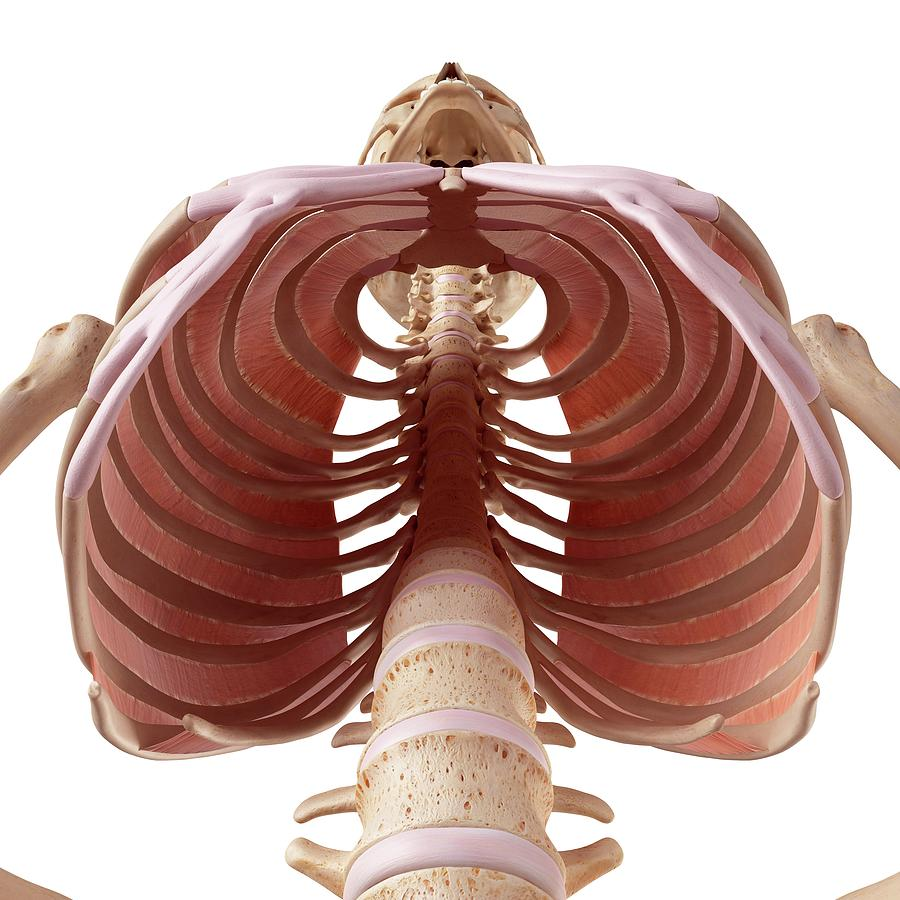 Human Thoracic Muscles Photograph By Sebastian Kaulitzkiscience