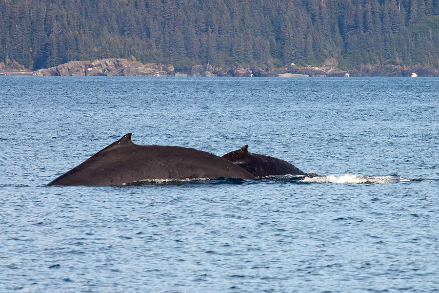 Humback Whale and Calf Photograph by Richard Jack-James