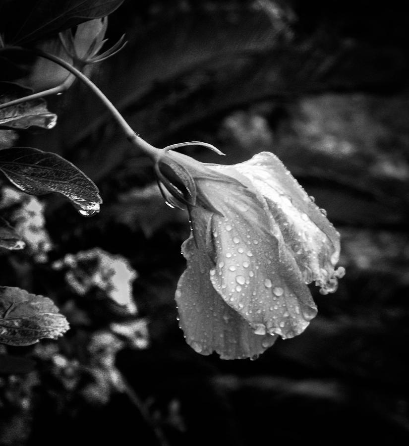 Hibiscus Photograph - Humbled By The Rain by Christy Usilton