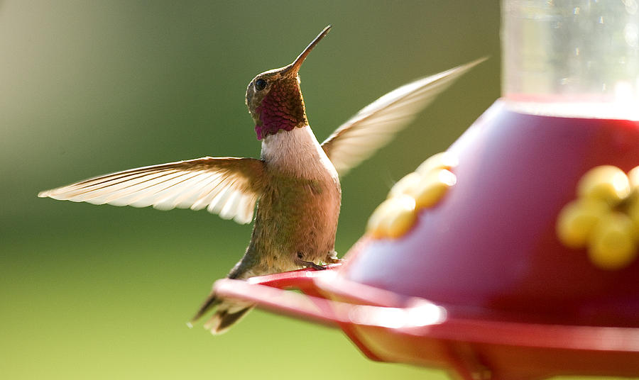 Humming Photograph - Humming Bird 2 by David Halter