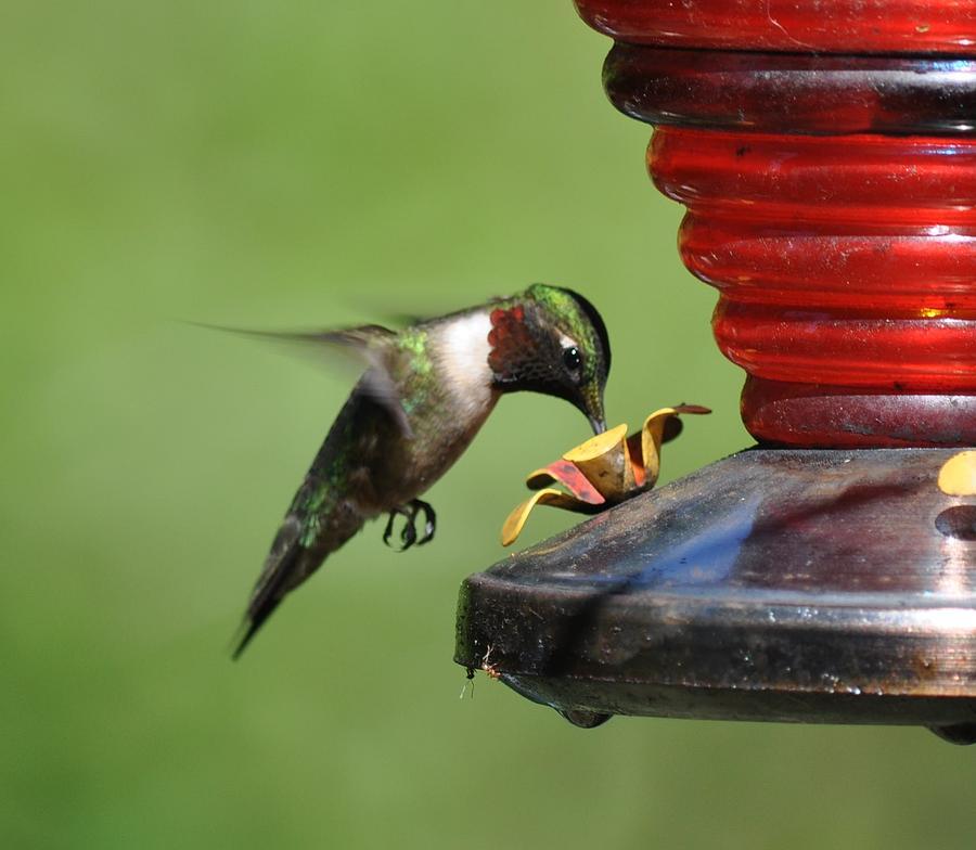Hummingbird Photograph - Humming Bird Feeds by James Holloway
