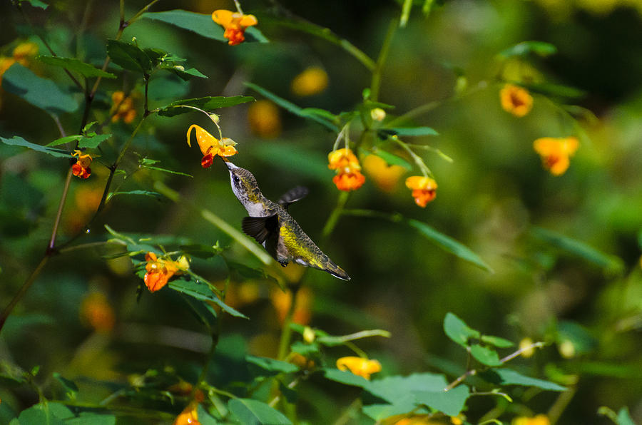 Humming Bird In The Woods Photograph