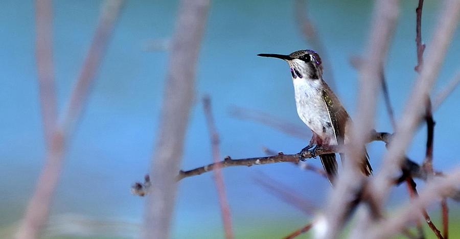 Hummingbird 20323 3 Photograph