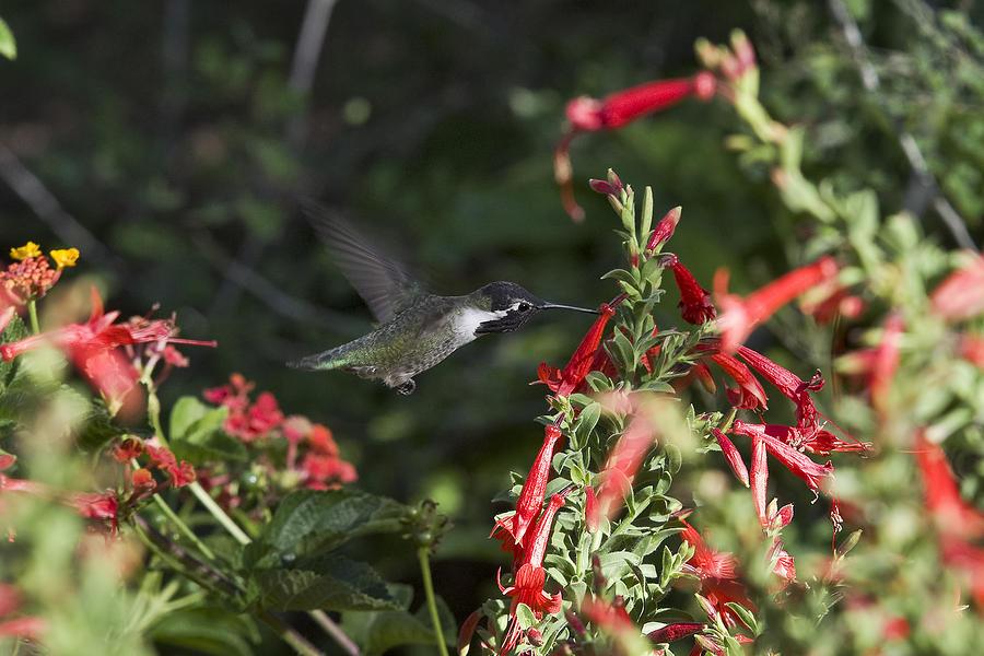 Hummingbird 3 Photograph