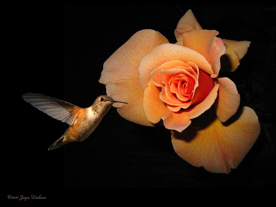 Bird Photograph - Hummingbird And Orange Rose by Joyce Dickens