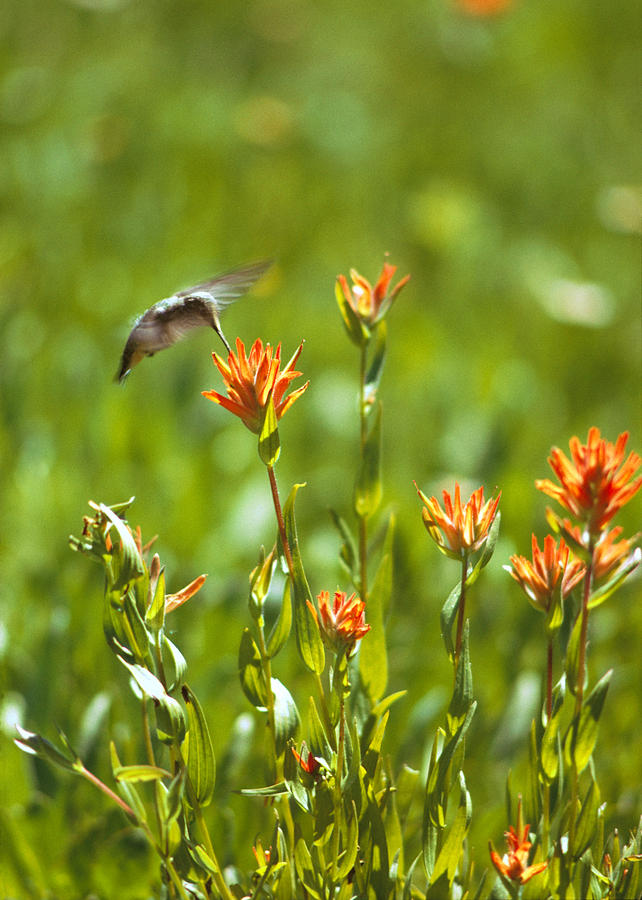 Birds Photograph - Hummingbird And Paintbrush Flower by Doug Herr