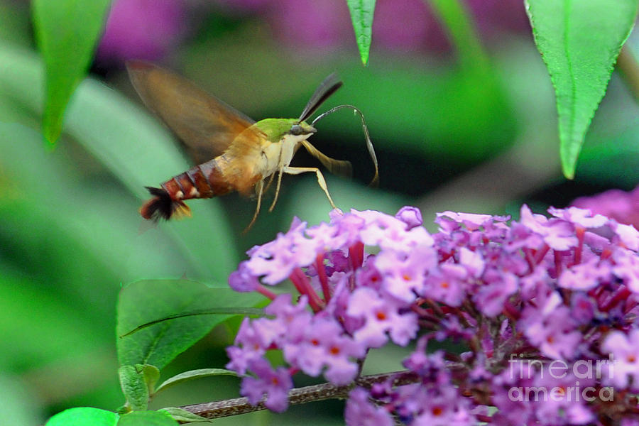Nature Photograph - Hummingbird Clearwing Moth by Gary Keesler