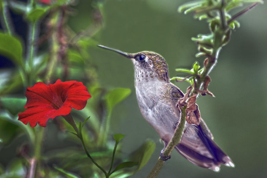 Hummingbird Photograph - Hummingbird Delight by Sandi OReilly