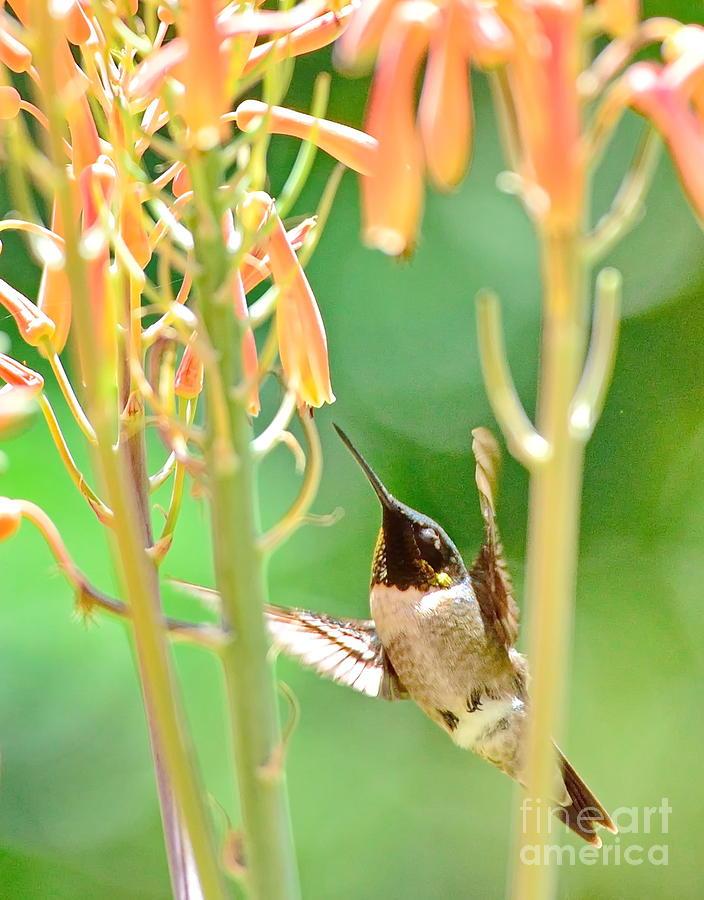 Hummingbird Dreams as Beating to Aloe Blossoms by Wayne Nielsen