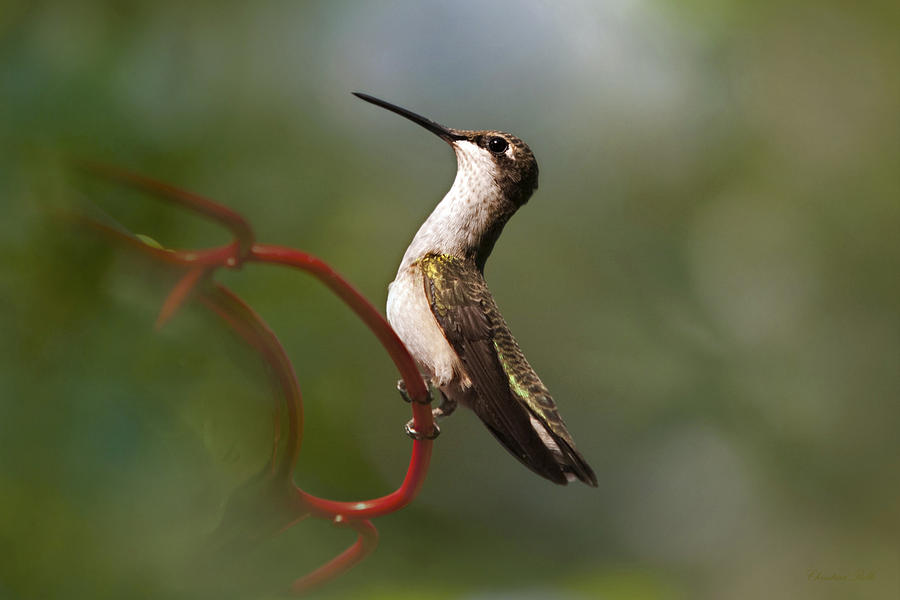 Hummingbird Photograph - Hummingbird Eloquent Appeal by Christina Rollo