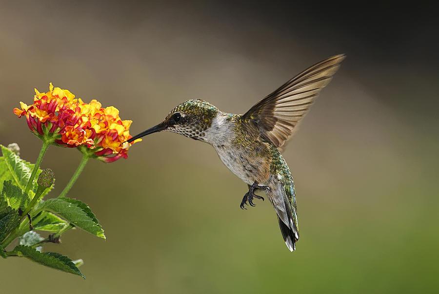 Hummingbird Feeding On Lantana Photograph by DansPhotoArt on flickr