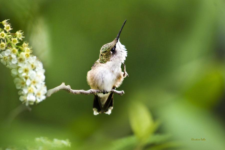 Hummingbird Photograph - Hummingbird Flexibility by Christina Rollo