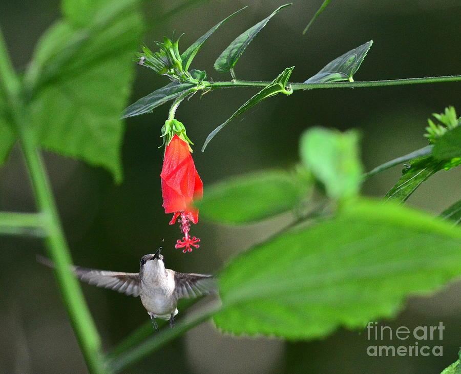 Hummingbird Flies to Red Turks Cap by Wayne Nielsen