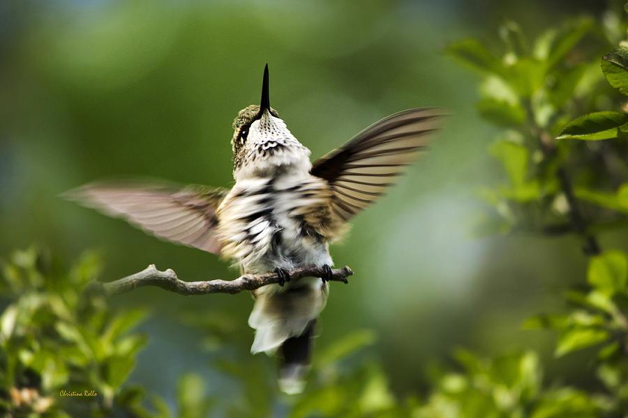 Hummingbird Photograph - Hummingbird Happy Dance by Christina Rollo