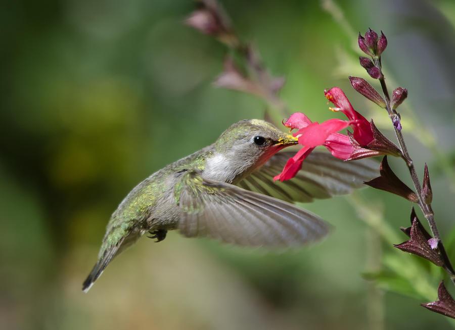 Hummingbird Photograph - Hummingbird Heaven  by Saija  Lehtonen