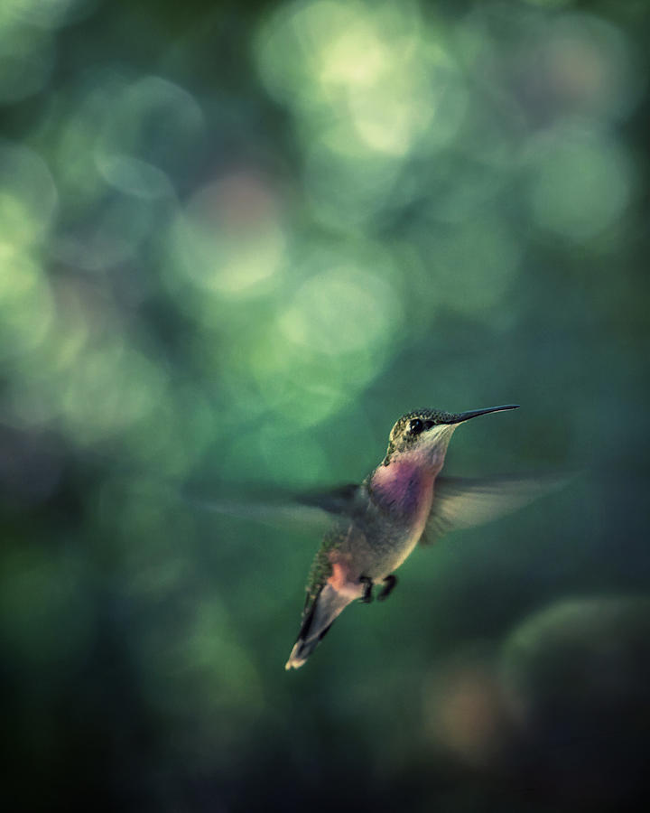 Bird Photograph - Hummingbird Hovering by William Schmid
