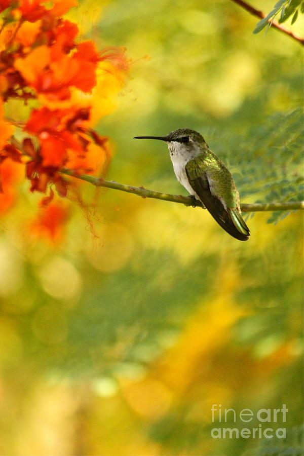 Hummingbird Photograph - Hummingbird In A Painting by Michael Cinnamond