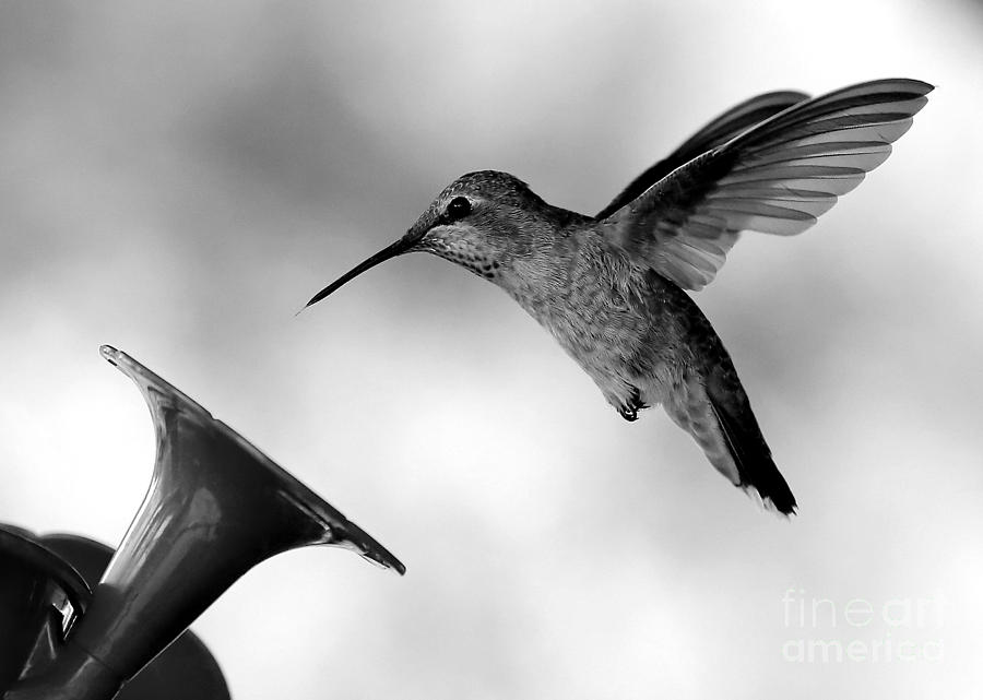 Hummingbird In Black And White Photograph By Carol Groenen