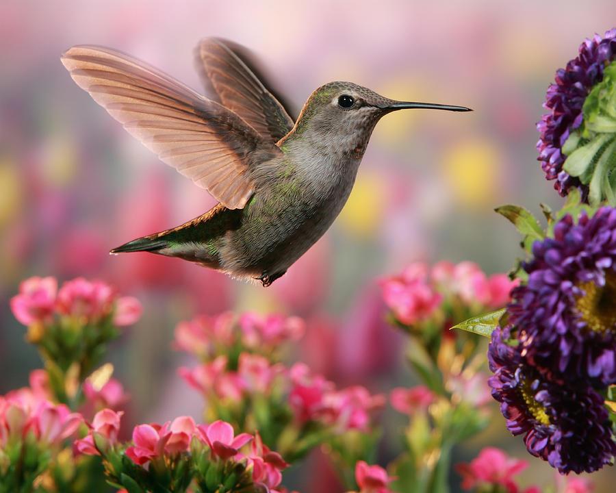 Hummingbird In Colorful Garden Photograph