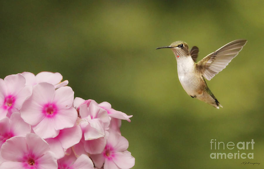 Nature Photograph - Hummingbird In Flight by Nancy Dempsey